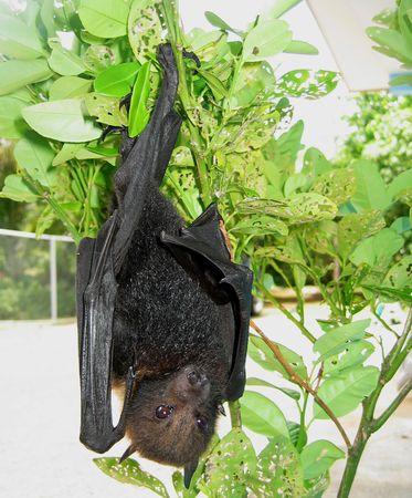 Fruit Bat, Palau